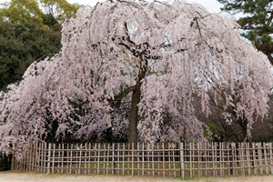Full-blown cherry blossom at Kyoto Imperial Palace